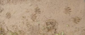 paw prints left in the mud
